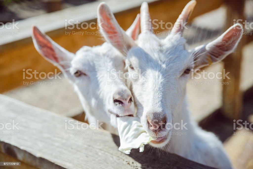 goat close up,  farming stock photo