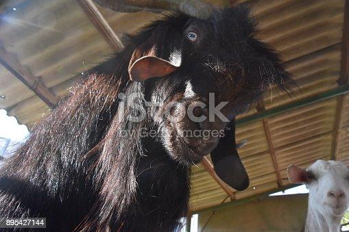 istock Goat close up 895427144