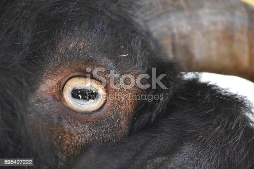 istock Goat close up 895427222
