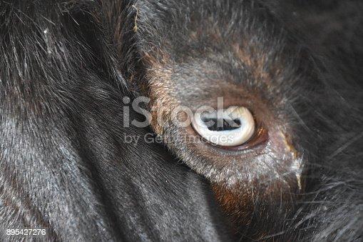 istock Goat close up 895427276