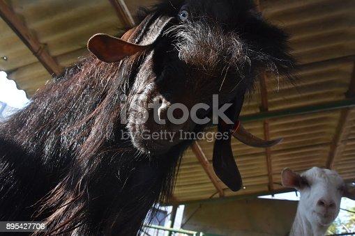 istock Goat close up 895427706