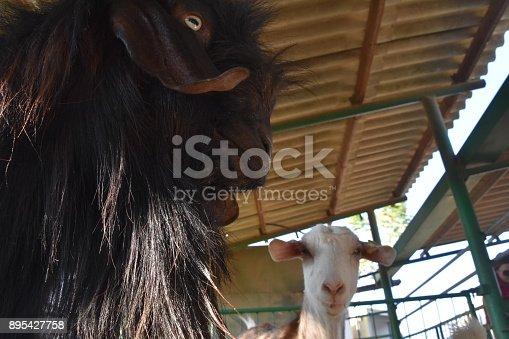 istock Goat close up 895427758
