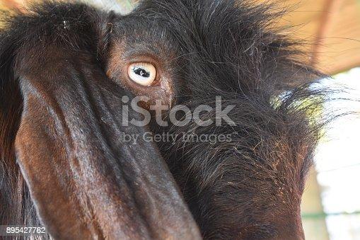 istock Goat close up 895427762