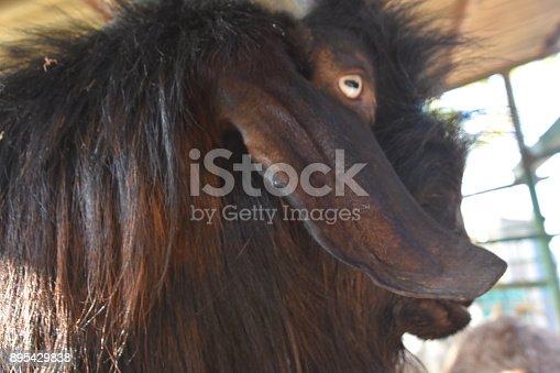 istock Goat close up 895429838