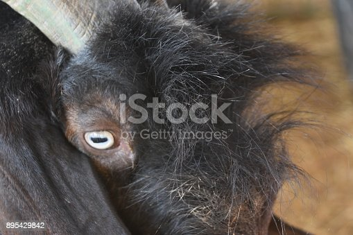 istock Goat close up 895429842