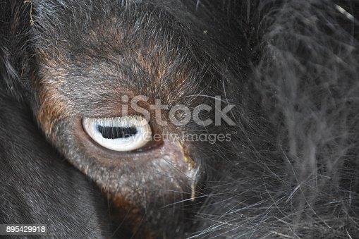 istock Goat close up 895429918