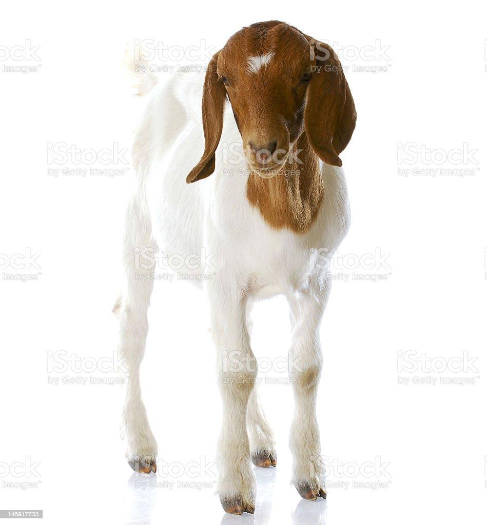 goat doeling standing stock photo