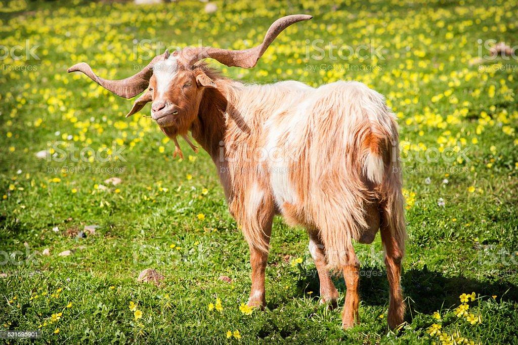 Cabra comendo grama - foto de acervo