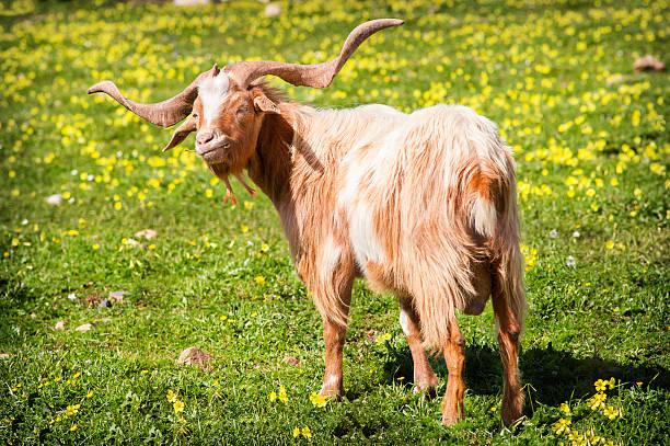 goat essen gras - ziegenhof stock-fotos und bilder