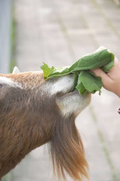 Goat eating leaves fed by a little girl Feeding goats at a petting zoo in Utrecht the Netherlands werken stock pictures, royalty-free photos & images