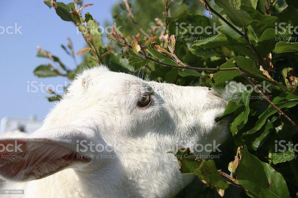 Goat eating royalty-free stock photo