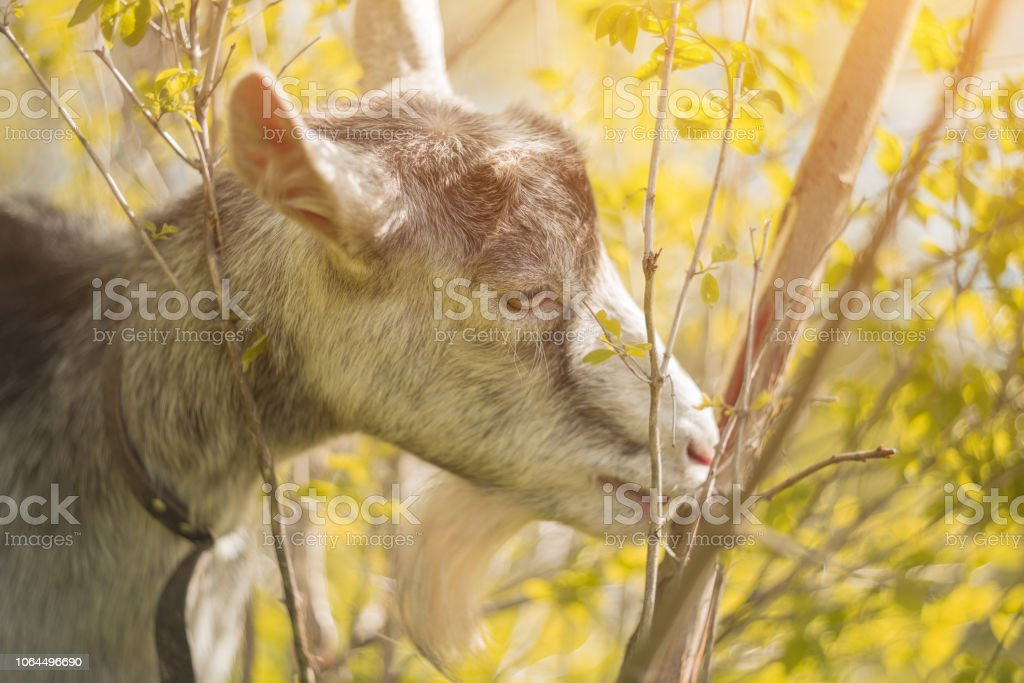 A goat eats leaves in the outdoor stock photo