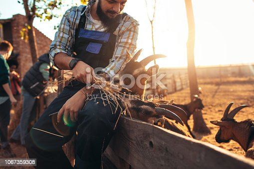 Goat farm owner sitting on wooden fence and feeding goats.