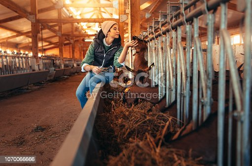 Female volunteer feeding goats on the farm.