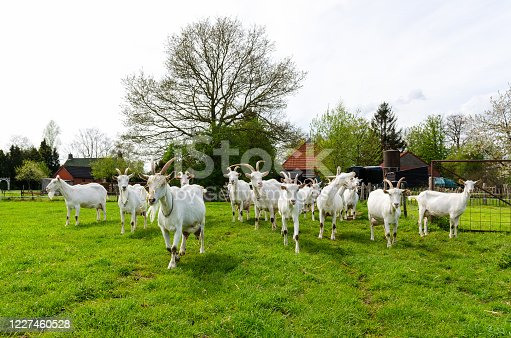 Goats roaming in the pasture.