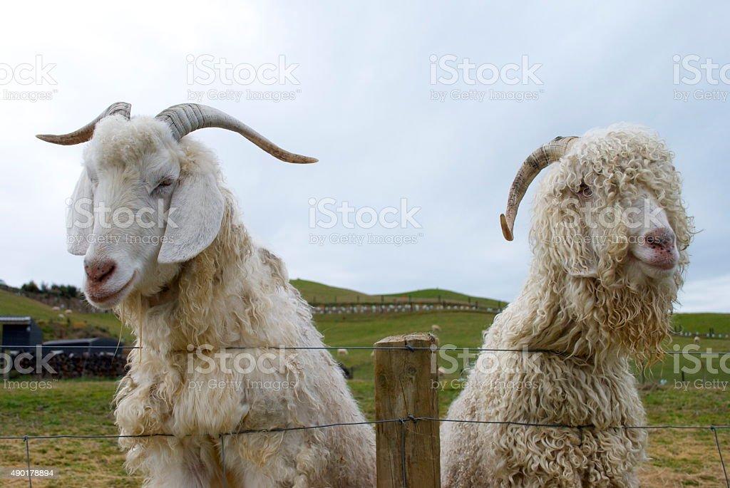 Goat Friends stock photo
