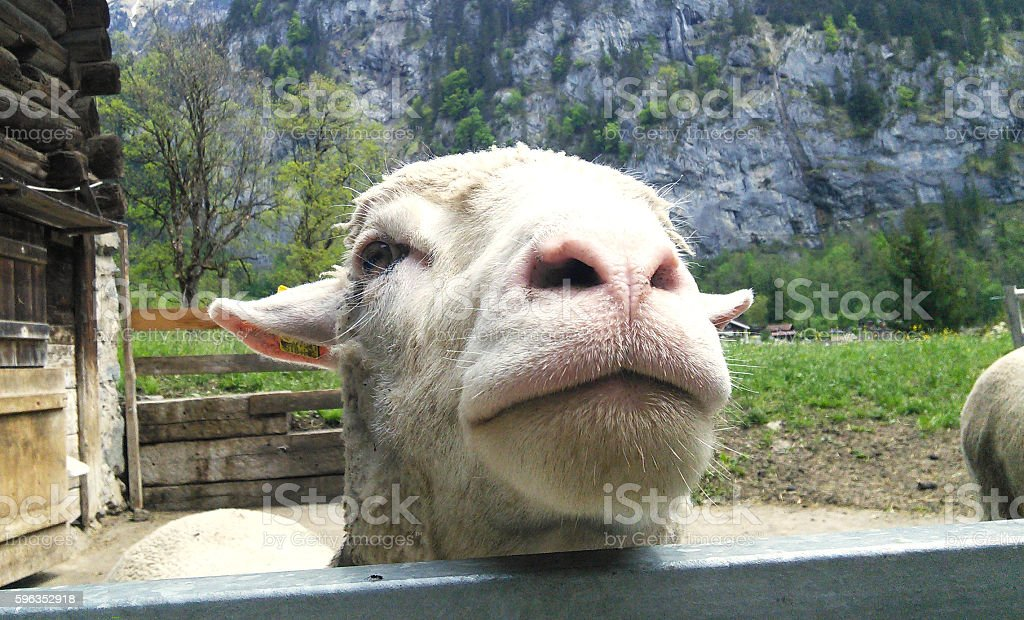 Goat funny face close up in farm stock photo
