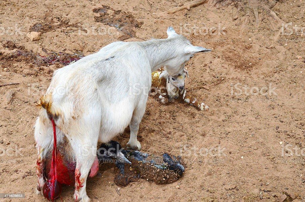 Goat Giving Birth stock photo