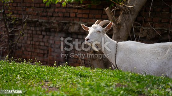 A goat grazes in the countryside.