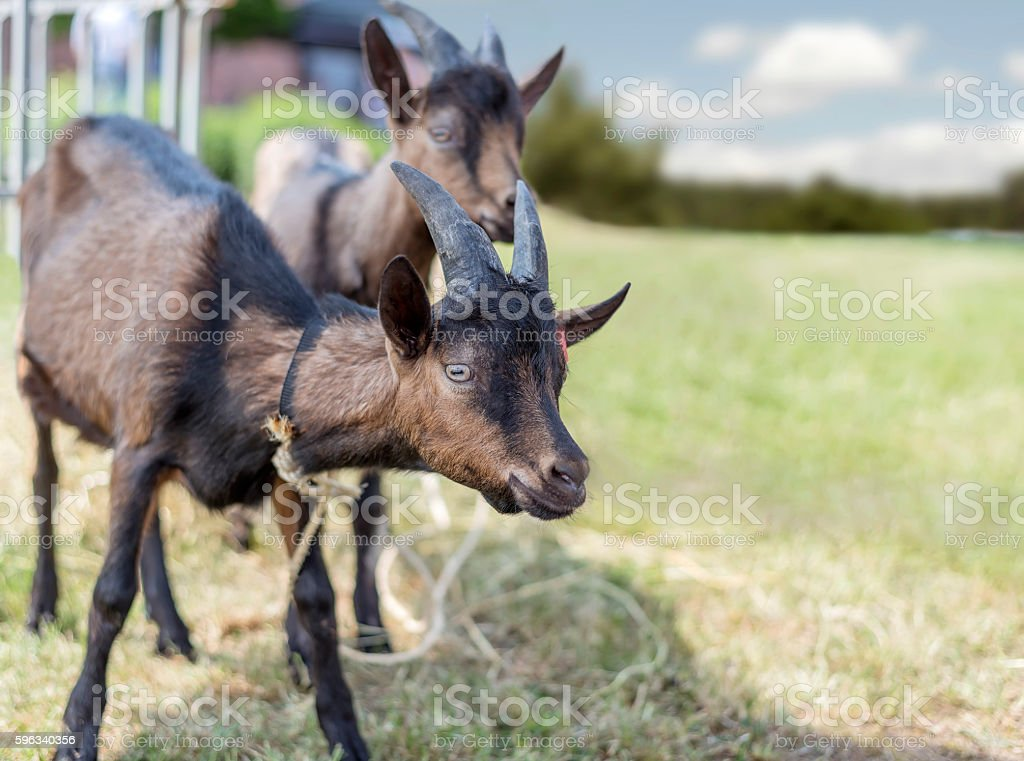 Goat grazing on green meadow Lizenzfreies stock-foto