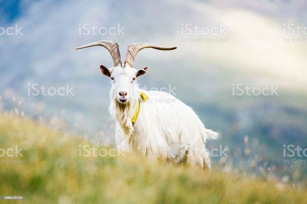 Goat grazing royalty-free stock photo