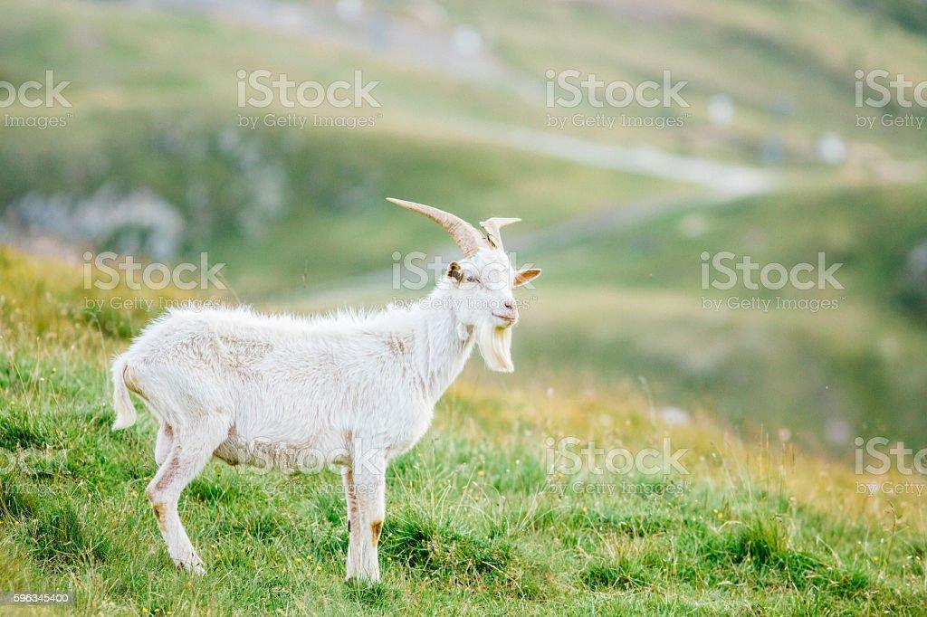 Goat grazing royalty-free stock photo