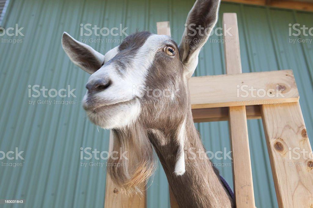 Goat Head royalty-free stock photo