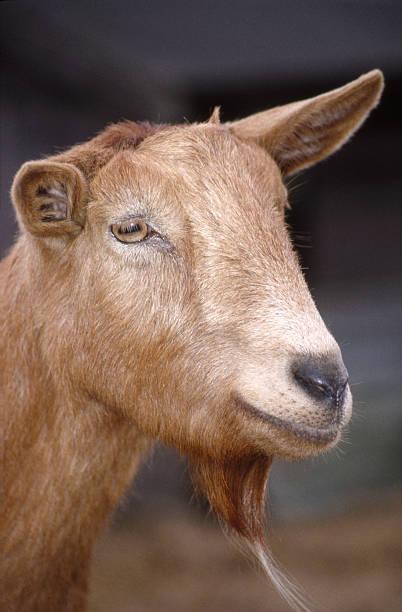 Goat Head stock photo