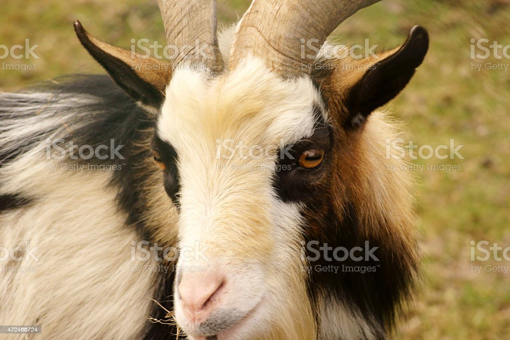 Goat head portrait stock photo