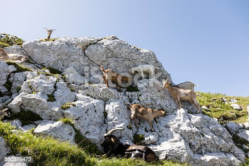 istock Goat herd climbs on a rock in the alps of Slovenia 880376472