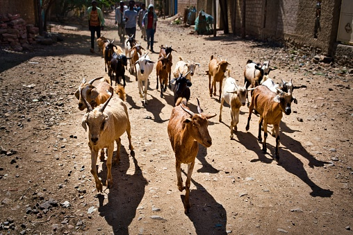 istock Goat herd on the street in Aksum, Ethiopia 1168042471