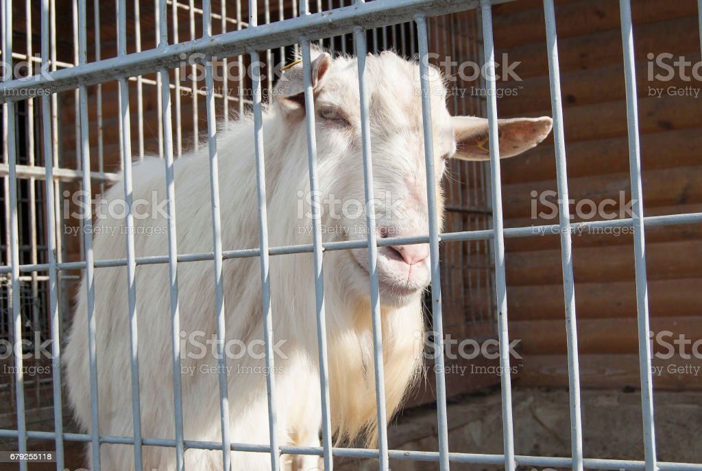 Goat in a cage. Exhibition. foto de stock royalty-free