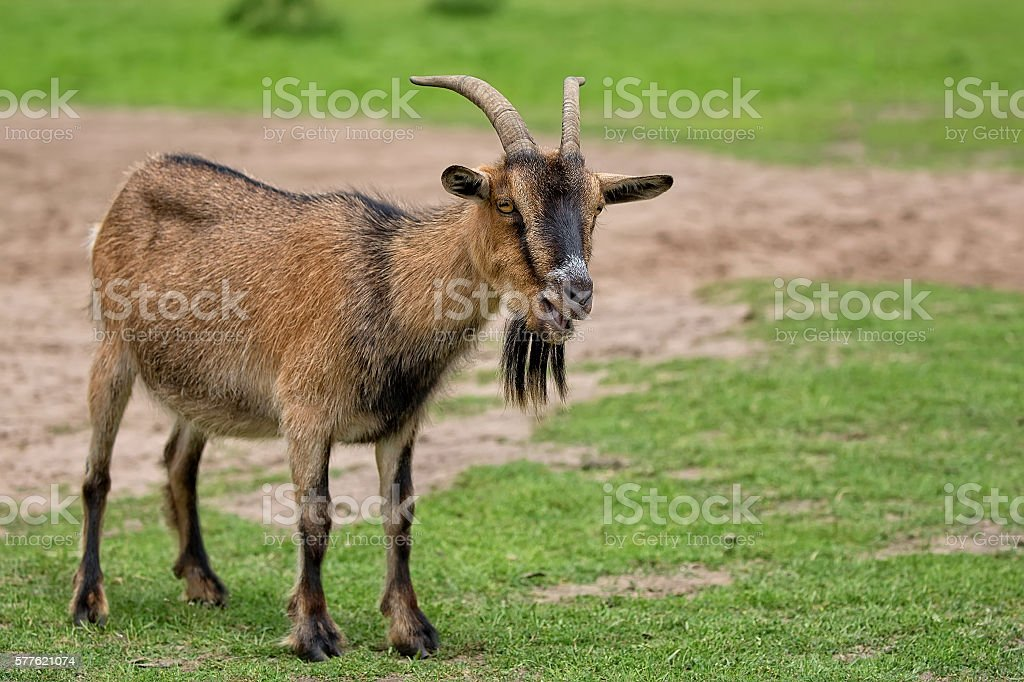 Goat in a clearing stock photo