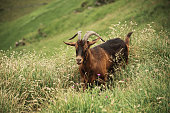 Female goat in a high grass field