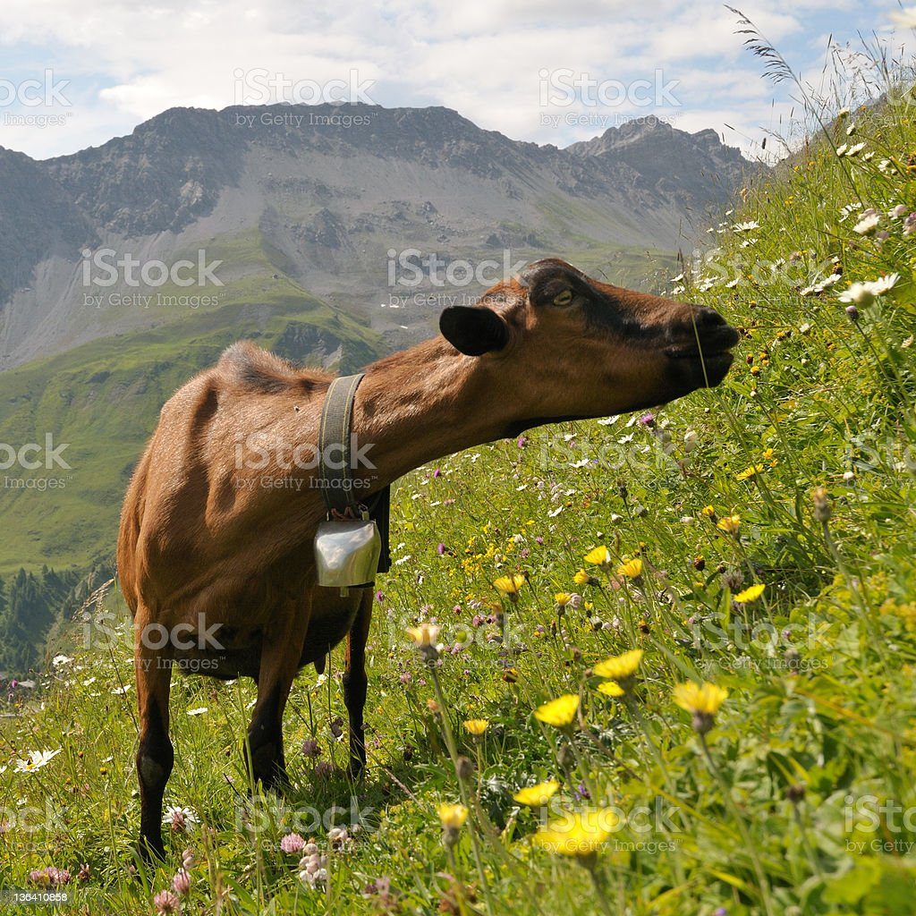Goat in alpine mountain royalty-free stock photo