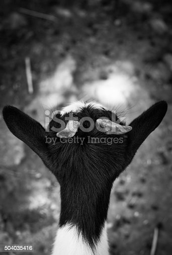 istock Goat in back view b/n 504035416