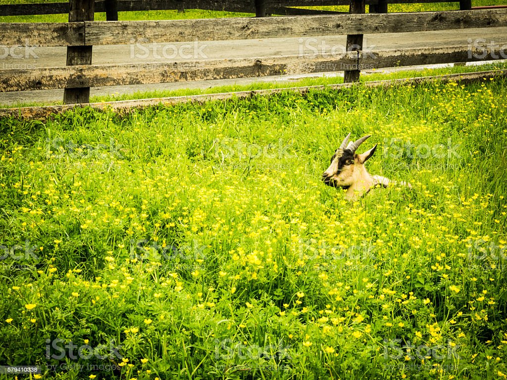 Goat in Field of Yellow Flowers stock photo