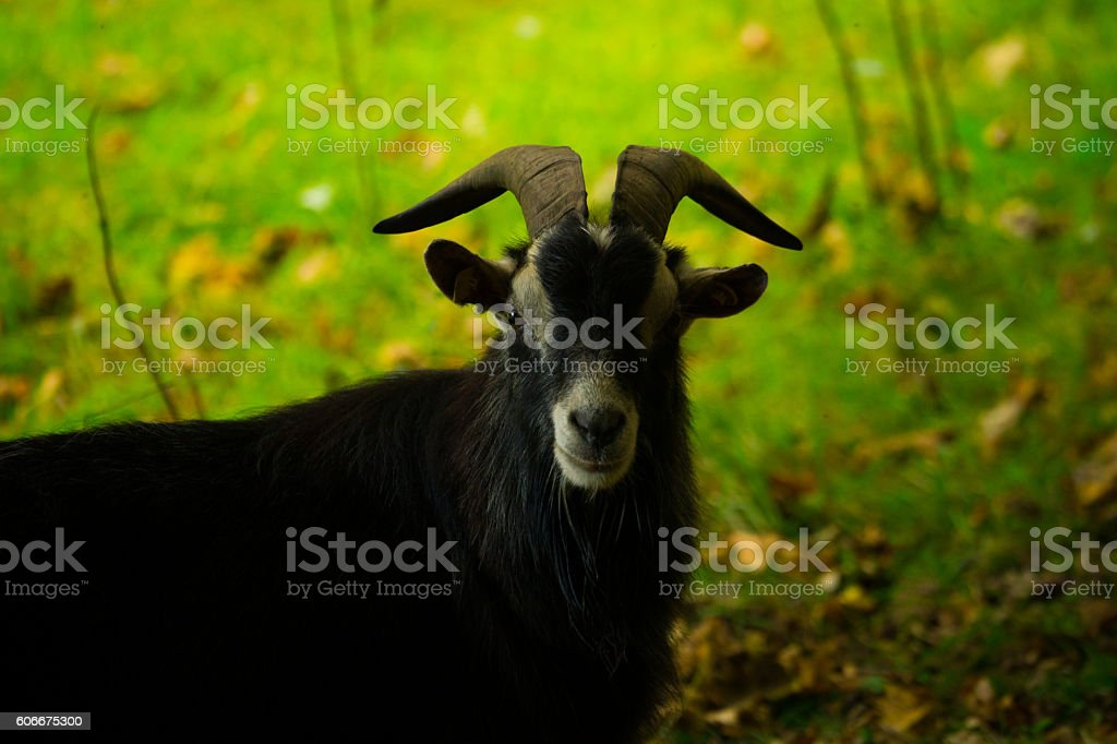 Goat in Field stock photo
