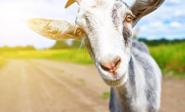 Chèvre en été en plein air dans la nature - Photo