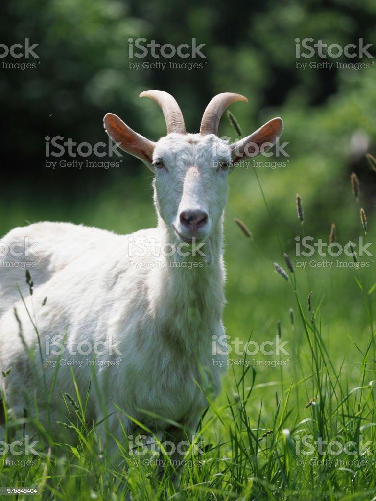 Ziege im Sommer Paddock - Lizenzfrei Agrarbetrieb Stock-Foto