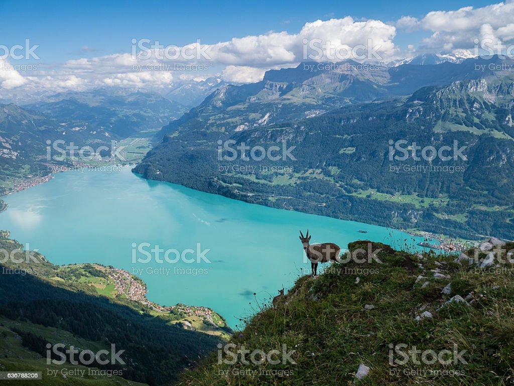 Goat in the Alps of Switzerland - Interlaken stock photo