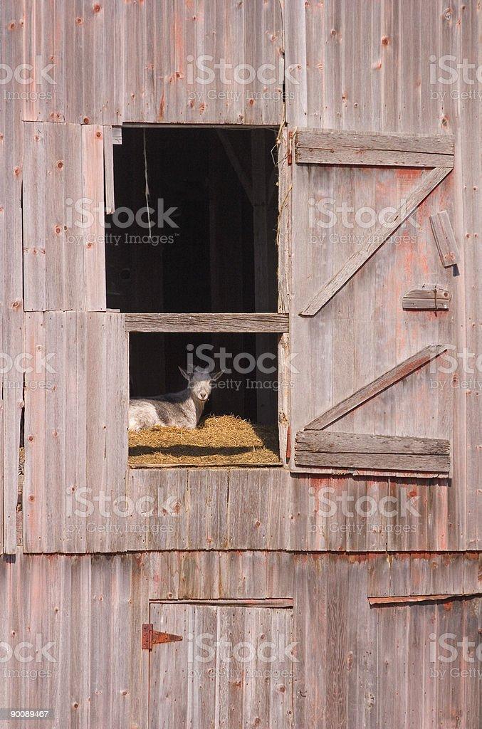 Goat in the Barn stock photo