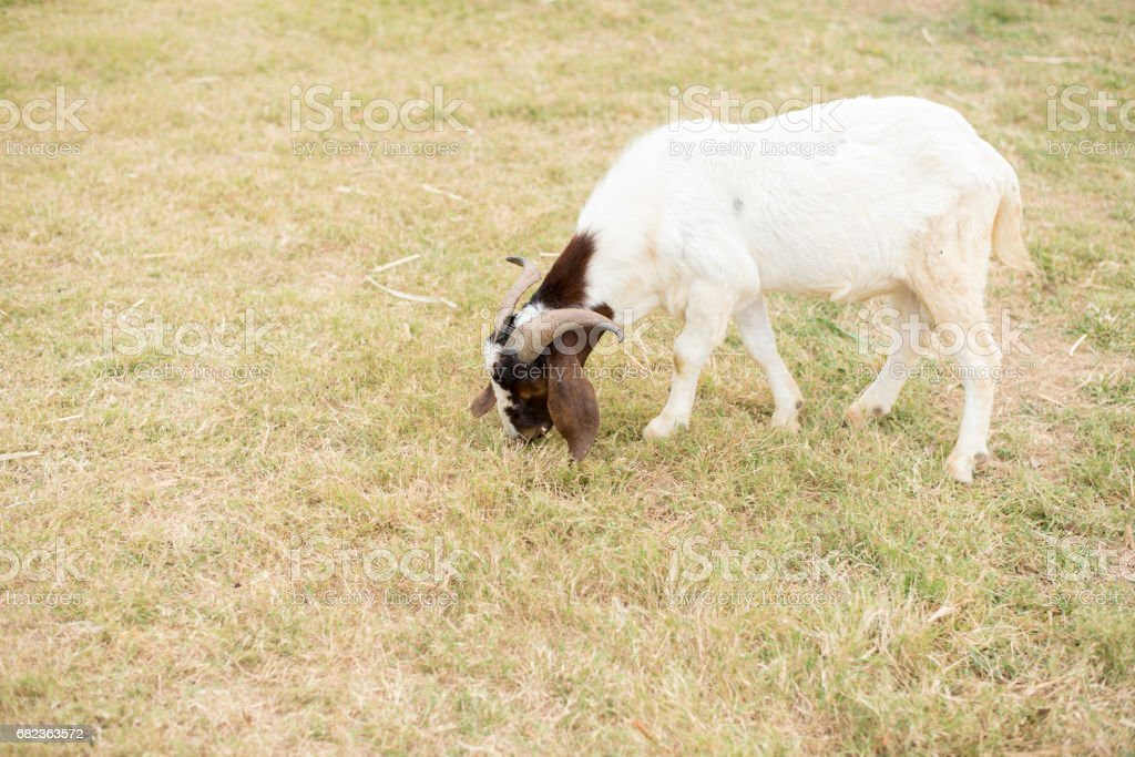 Goat in the field zbiór zdjęć royalty-free