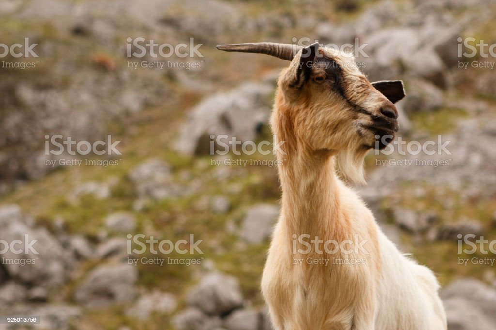 Goat in the mountains. stock photo