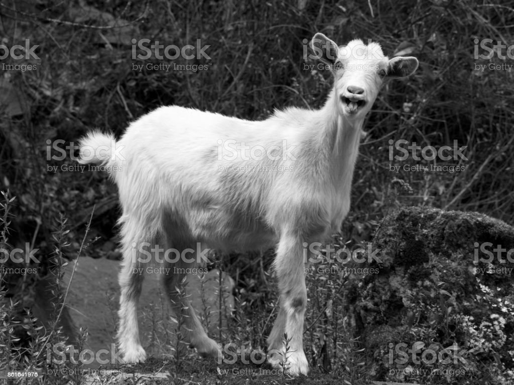 Goat in the Sacred Valley of Peru stock photo
