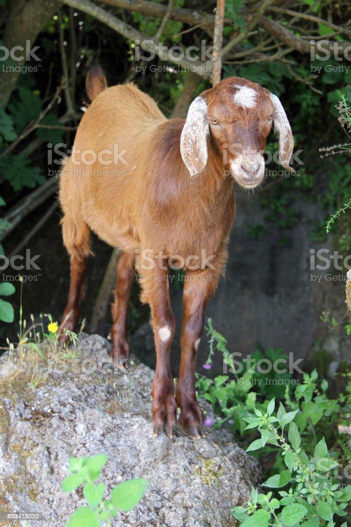 Goat in turkish village stock photo