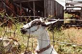 goat inside the fence