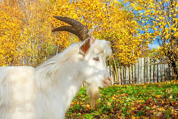 goat ist grazed auf einer wiese - ziegenhof stock-fotos und bilder