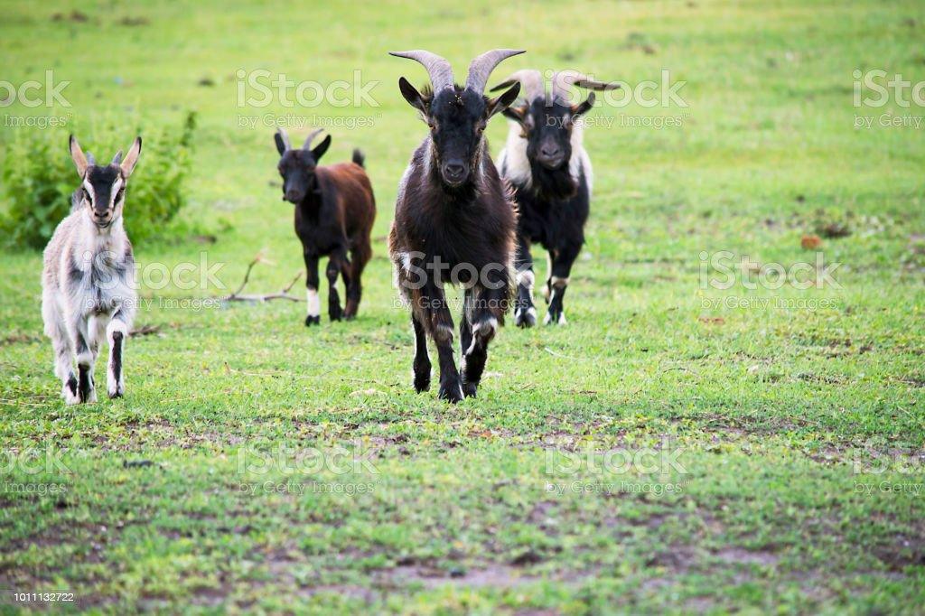 goat is running in the summer stock photo