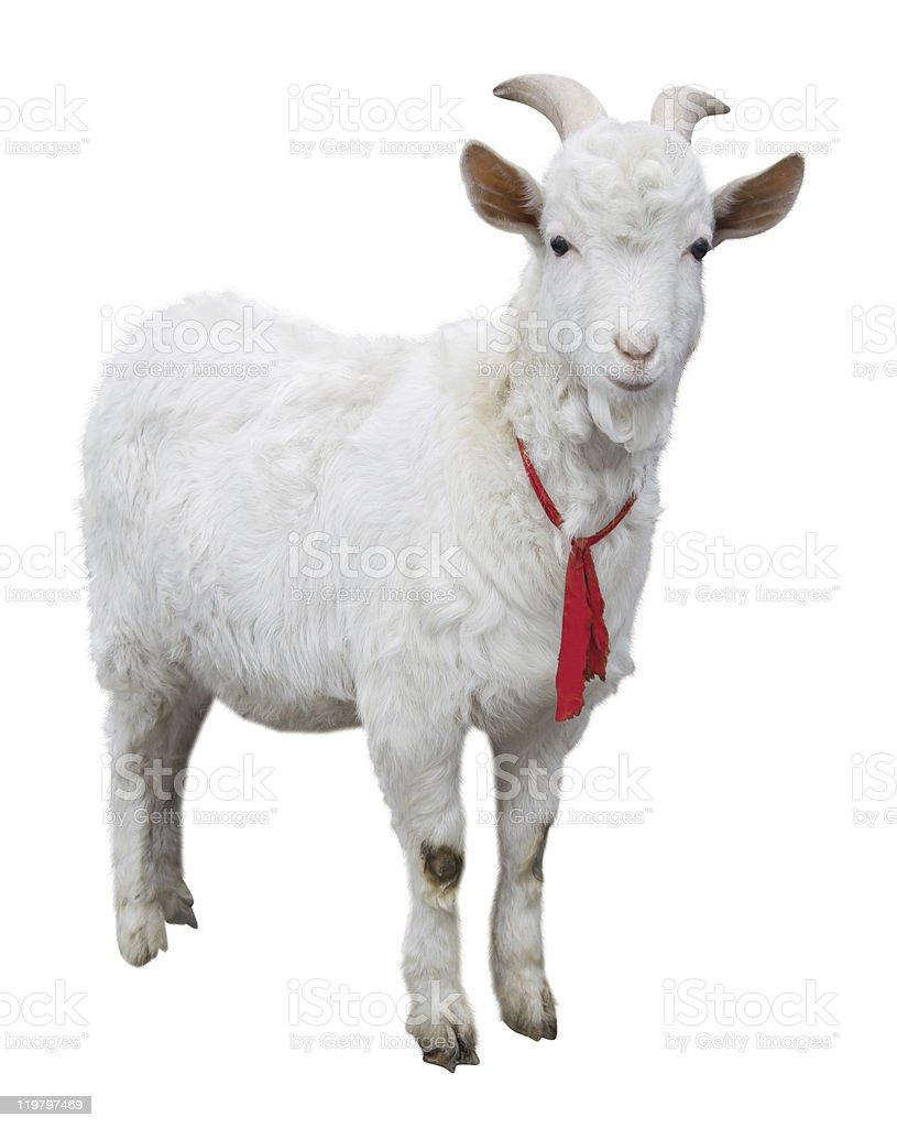 Chèvre isolé - Photo